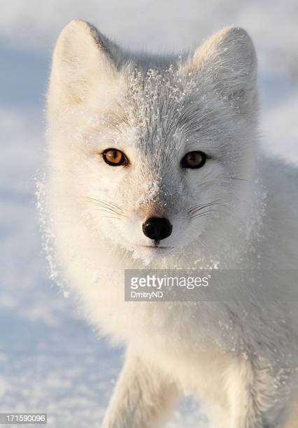 arctic fox. - arctic fox stock pictures, royalty-free photos & images