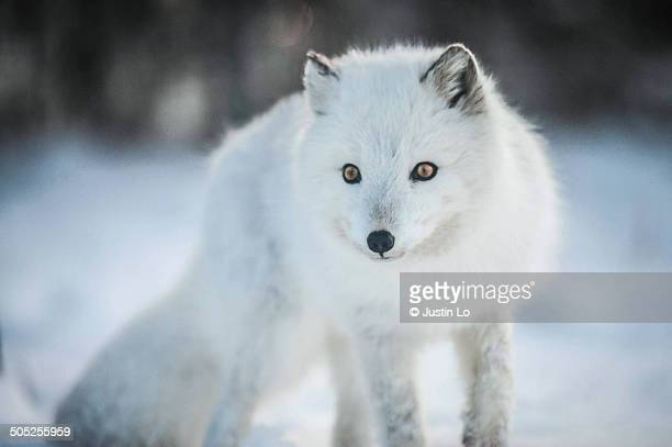 arctic fox - arctic fox stock pictures, royalty-free photos & images