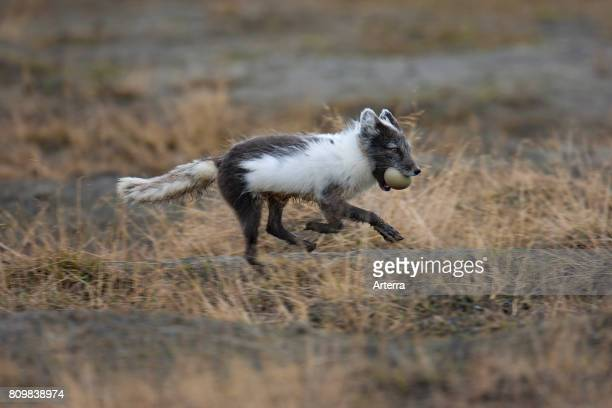 Arctic fox / polar fox running away with Eider duck egg in mouth on the tundra Svalbard / Spitsbergen Norway