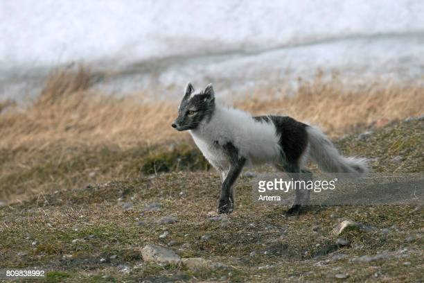 Arctic fox / polar fox showing coat in blue phase on the tundra Svalbard / Spitsbergen Norway