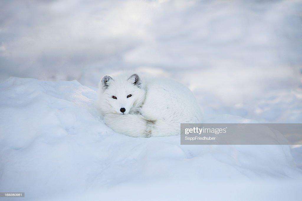Arctic fox sich im Schnee : Stock-Foto