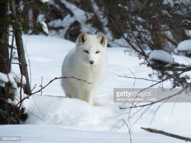 arctic fox resting on snow covered field - arctic fox stock pictures, royalty-free photos & images