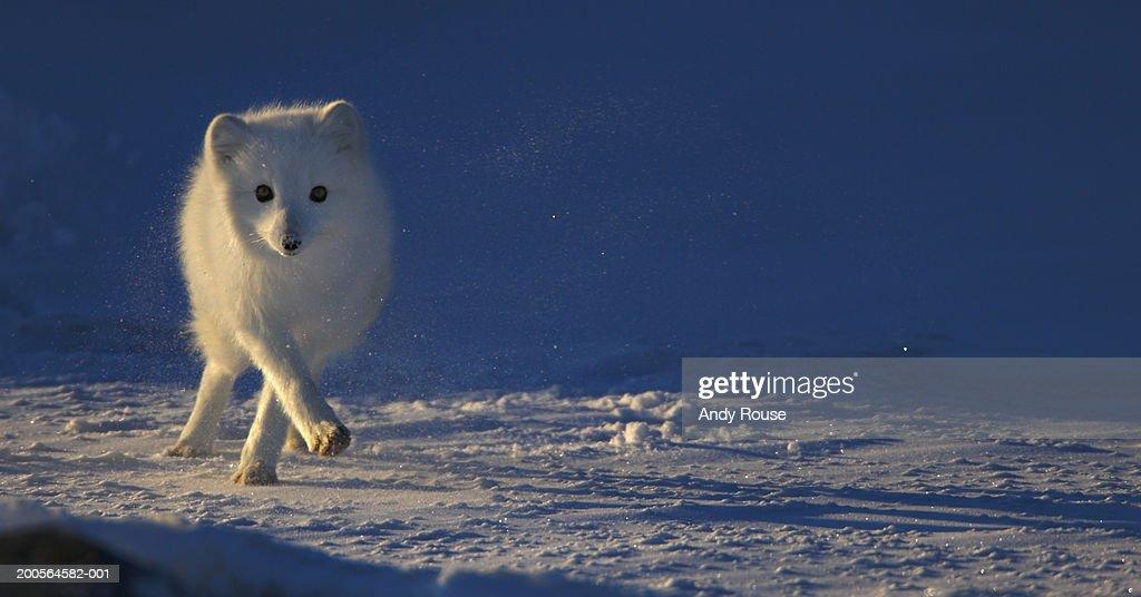 f86e7343727 Arctic Fox (Alopex lagopus) running across snowy landscape   Stock Photo
