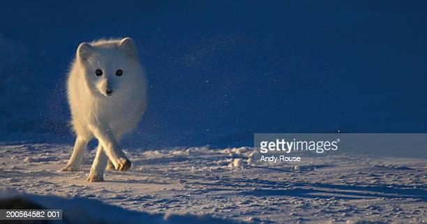 Arctic Fox (Alopex lagopus) running across snowy landscape
