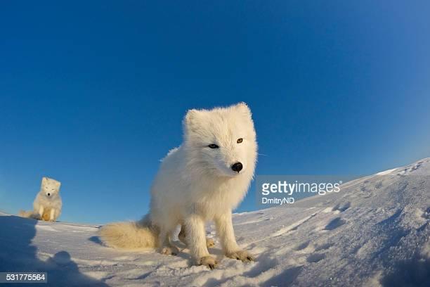 Arctic fox sitting in the snow.