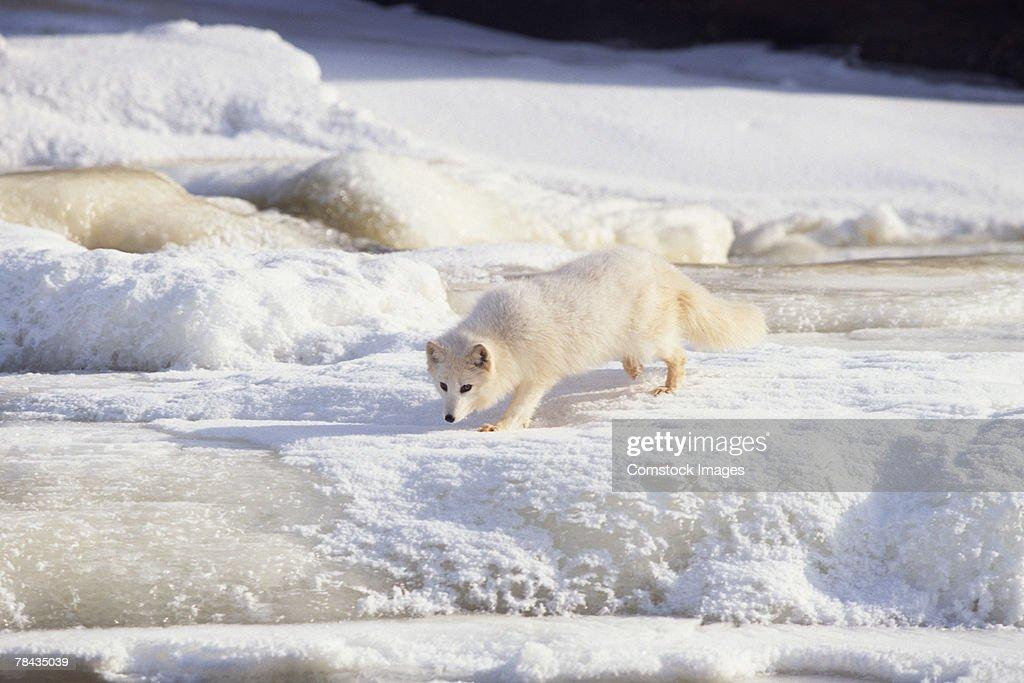 Arctic fox stalking , Canada : Stockfoto
