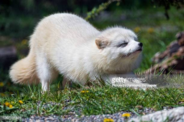 arctic fox stretching - fox stock pictures, royalty-free photos & images