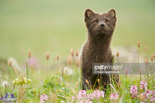 arctic fox (alopex lagopus or vulpes lagopus) summer coat, alaska, usa - arctic fox stock pictures, royalty-free photos & images