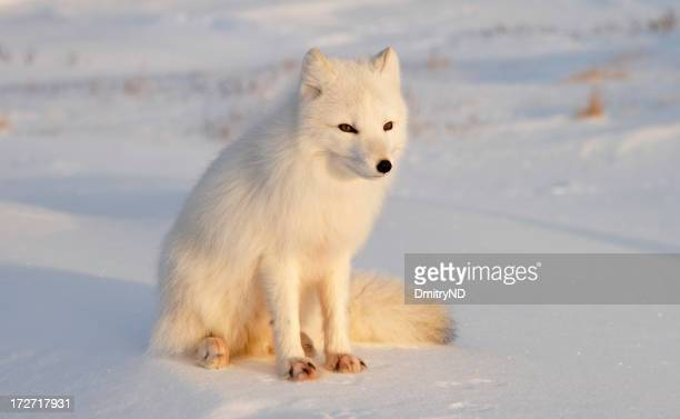 Arctic fox. Sunny day after Polar night.