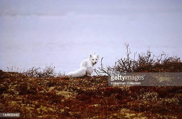 Arctic Fox Tundra Arctic