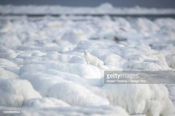 arctic fox (vulpes lagopus) walking through the ice chunks on hudson bay - acechar fotografías e imágenes de stock