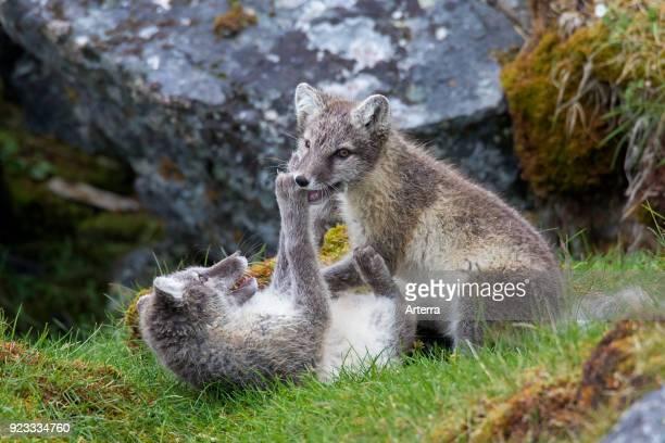 Arctic fox white fox polar fox snow fox two kits play fighting at den entrance on the tundra in summer