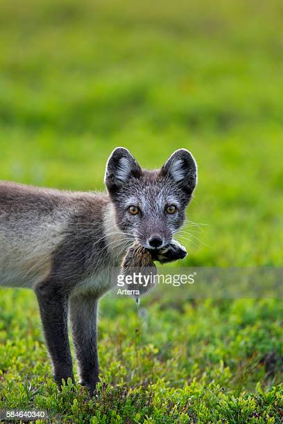 Arctic fox with caught Norway lemming in mouth on the tundra Lapland Sweden