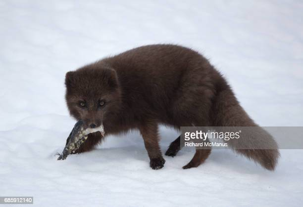 arctic fox with fish. - westfjords iceland stock photos and pictures