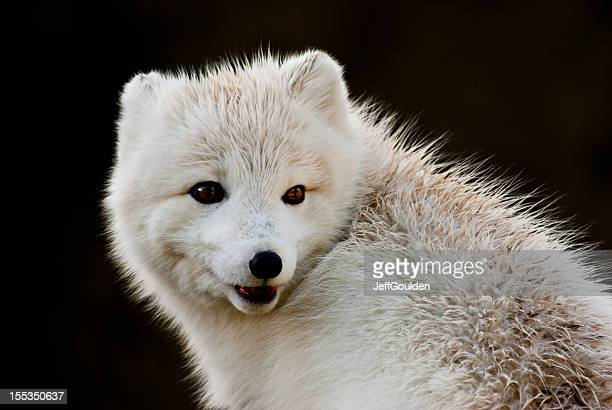Arctic Fox With Open Mouth