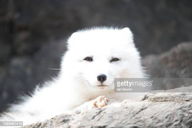 arctic fox_1 - ian gwinn stock photos and pictures