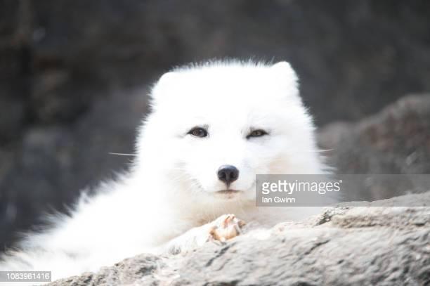 arctic fox_1 - ian gwinn ストックフォトと画像