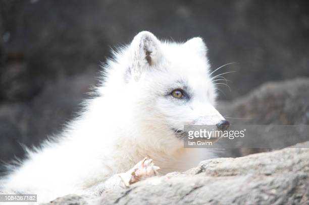 arctic fox_2 - ian gwinn stock photos and pictures