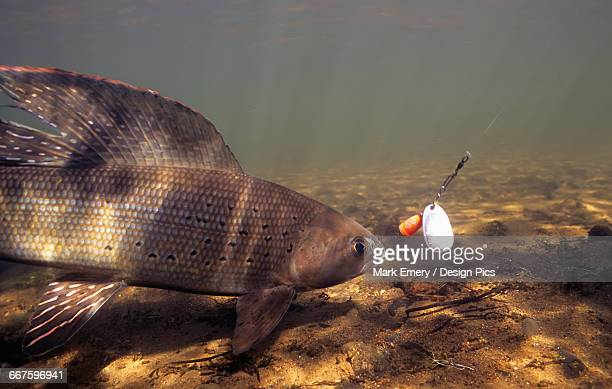 Arctic Grayling (Thymallus arcticus) underwater with hook in mouth