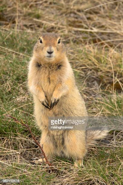 Arctic ground squirrel Yukon Dempster Highway Tombstone Territorial Park Ogilive Mountains