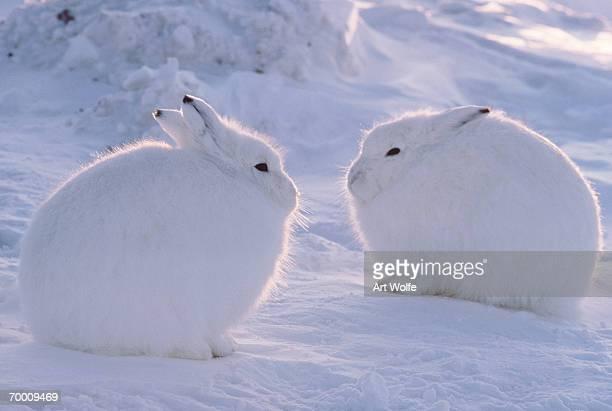 arctic hare (lepus arcticus), ellesmere island, canada - lagomorphs stock pictures, royalty-free photos & images