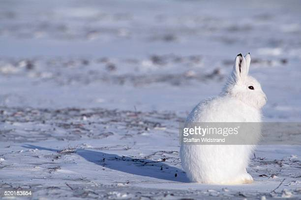 Arctic Hare in the Canadian Arctic