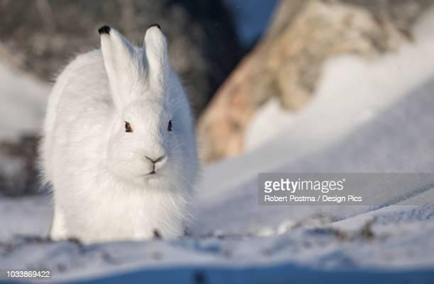 Arctic hare (Lepus arcticus) in the snow