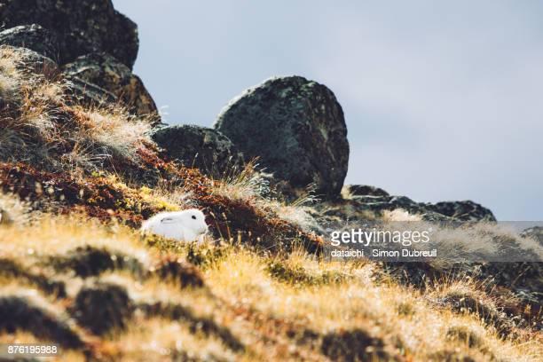 Arctic hare near Kangerlussuaq