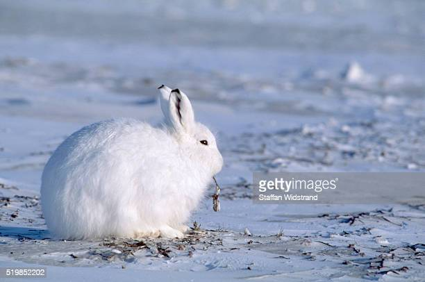 Arctic Hare on the Tundra