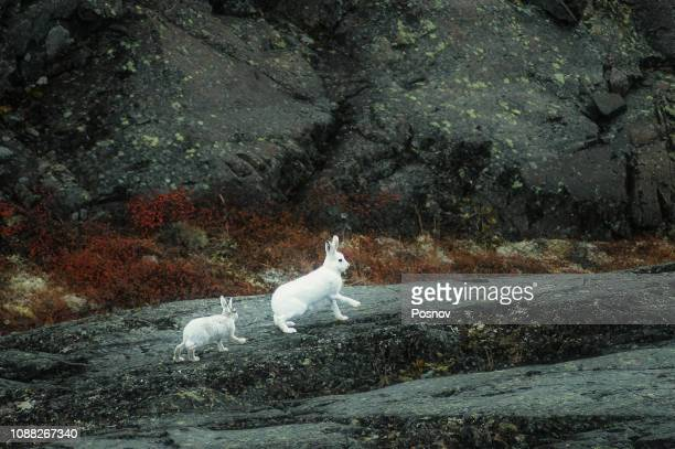 arctic hare - lagomorphs stock pictures, royalty-free photos & images