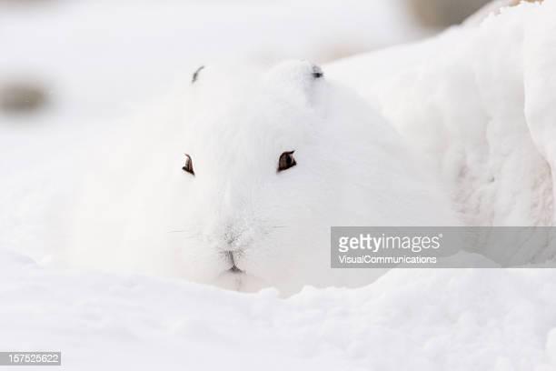Arctic hare.