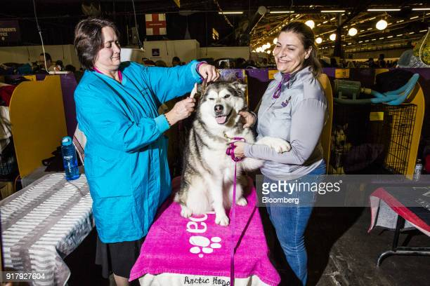 Arctic Hopes Brave Heart an Alaskan Malamute is groomed at the 142nd Westminster Kennel Club Dog Show in New York US on Tuesday Feb 13 2018 The...