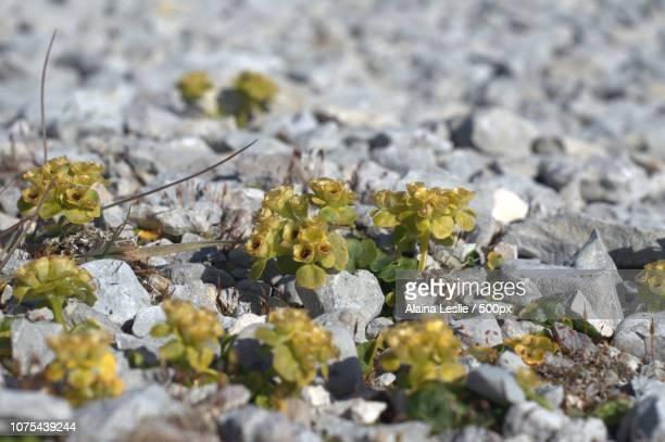 Arctic Plants