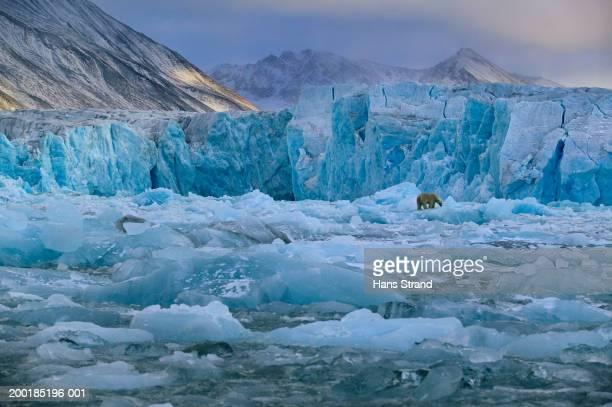 Arctic, Spitsbergen, polar bear on Monaco Glacier