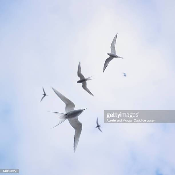 Arctic sterns flying in cloudy sky