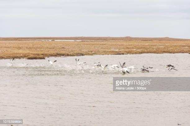 Arctic Swans in Shepherd Bay