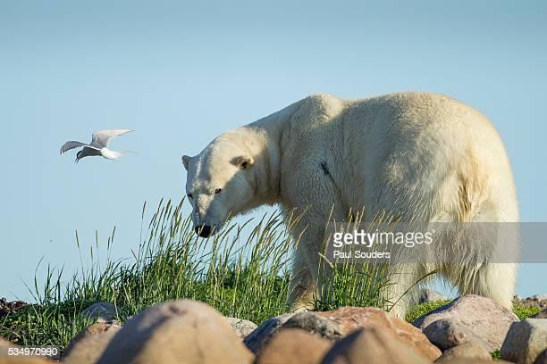 Arctic Tern and Polar Bear, Hudson Bay, Manitoba, Canada