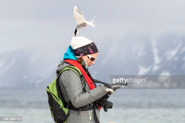 arctic tern attacking photographer and defending its nest, svalbard islands - spitsbergen stock pictures, royalty-free photos & images