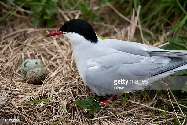 arctic tern bird