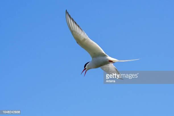 Arctic tern calling in flight against blue sky