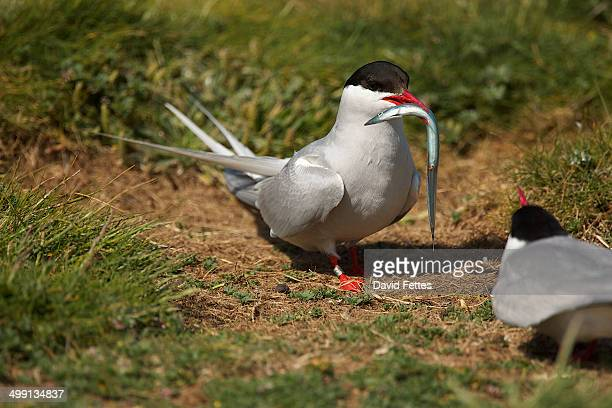 Arctic Tern (Sterna paradisaea) carrying fish in its beak