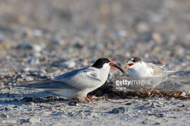 Arctic tern feeding fish to chick on beach in summer