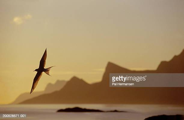 Arctic tern (Sterna paradisaea) flying near mountainous coastline