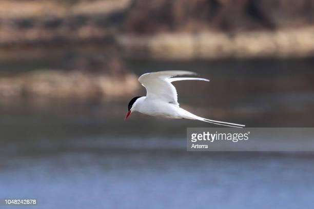 Arctic tern flying over sea and spotting fish below Scotland UK