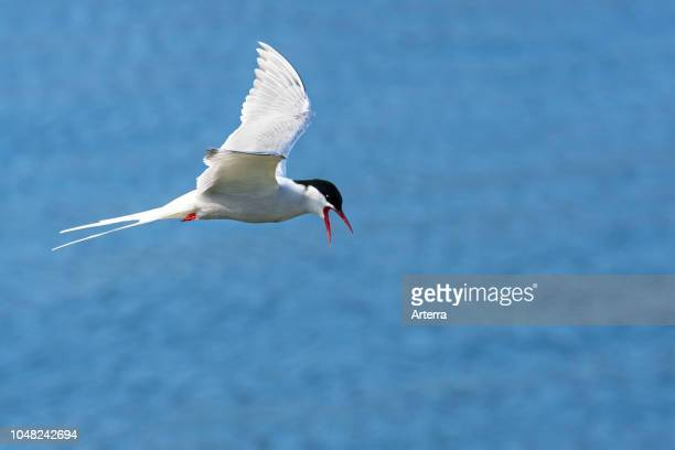 Arctic tern flying over sea water / Atlantic Ocean and calling