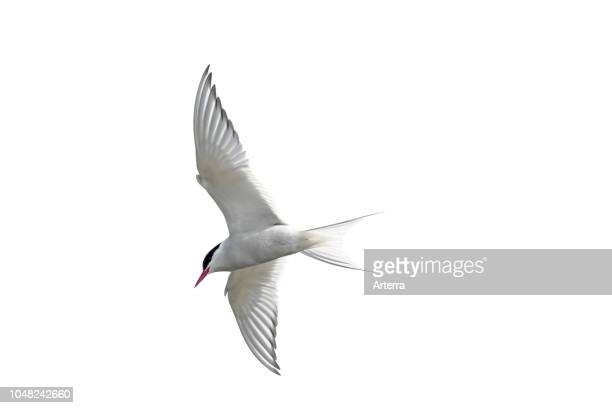 Arctic tern in flight against white background cutout / cutout