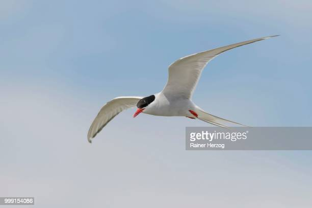 Arctic tern (Sterna paradisaea) in flight, Schleswig-Holstein, Germany
