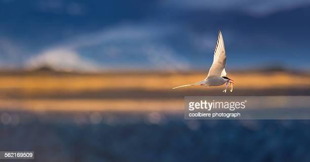 Arctic Tern in flight with prey