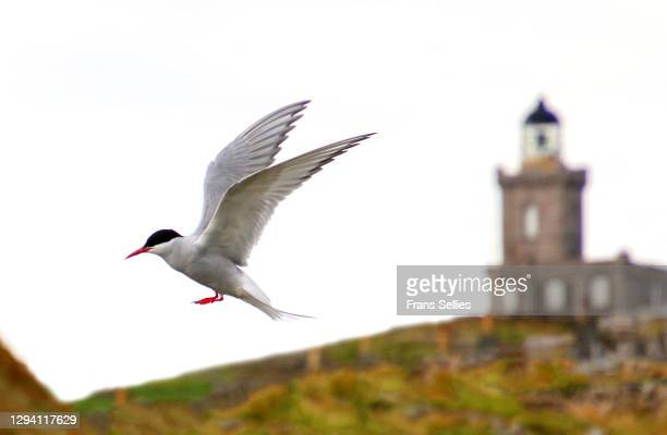 arctic tern (sterna paradisaea) landing on the isle of may, scotland - animal limb stock pictures, royalty-free photos & images