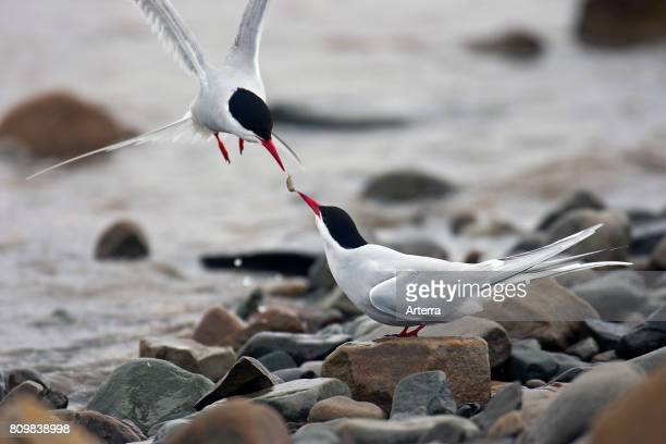 Arctic Tern male offering food to female on shingle beach in spring